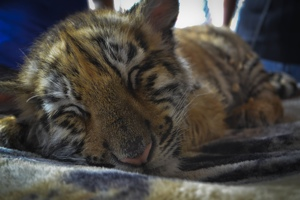 Exhausted tiger cub at fair